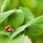 ladybugs-150x150